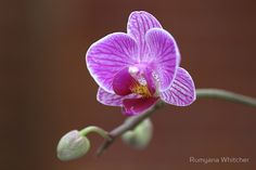 Purple Orchid Flower And Bud