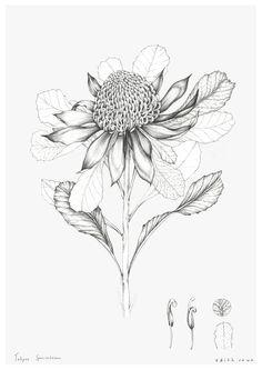 B&W Drawing of Conefower Botanical Line Drawing, Botanical Drawings, Botanical Art, Illustration Botanique, Plant Illustration, Botanical Illustration, Australian Wildflowers, Australian Native Flowers, Art Floral