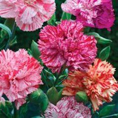 fantasy Dianthus Caryophyllus | Carnation Picotee Fantasy Mixed