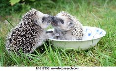 Hedgehog Stock Photo Images. 1840 hedgehog royalty free images and photography available to buy from over 100 stock photo companies.