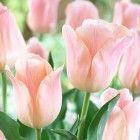 Apricot tulip