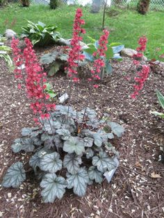 Heuchera Paris.  Shade garden, heavy & long blooming with large, rose-pink flowers which appear in early summer and continue straight into fall. 1000's of these dainty bells appear atop mounds of blue-green silvery foliage.  Grown in a humusy, well drained with sufficient moisture. Once established, it can take on heat, humidity, even poor soil. An evergreen ground cover, you can trim away any tired looking foliage in the spring.