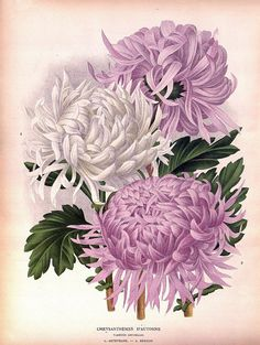 antique french botanical print fall chrysantemum by FrenchFrouFrou