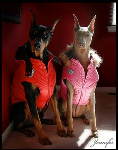 What? Dobes gotta wear jackets too