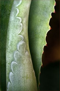 Century Leenda K, the century cactus leaves unroll leaving the imprint where it was Agaves, Patterns In Nature, Textures Patterns, Fotografia Macro, Cacti And Succulents, Natural World, Amazing Nature, Shades Of Green, Color Inspiration