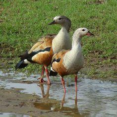 Pato carretero [Orinoco Goose] (Neochen jubata) (♂ y ♀) | by barloventomagico