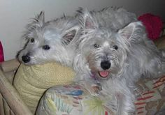 Happy #TerrierTuesday!  Check out our spring and summer polishes at https://www.etsy.com/shop/TawdryTerrier. #tawdryterrier #westie #terrier #dog #westhighlandwhiteterrier