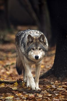 A wolf starts to sneak up on them and then dashing toward them. They are expecting a wolf to jump on them but instead the wolf jumps and in mid air it turns into a human.