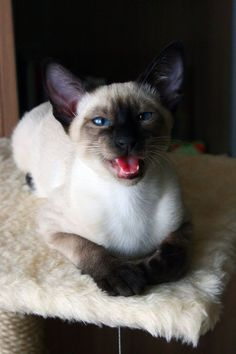 Siamese are graceful, lively, long, slender, strong, muscular, demanding, talkative, and very intelligent. They are very social and people oriented. They must have people around to thrive.