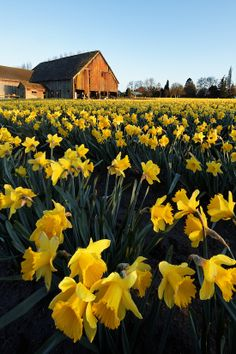 Daffodils & Old Valley Farm Barn.. Washington   ..rh