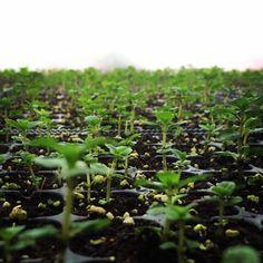a Estufa de Vilar — @a_estufa_de_vilar #peppermint #growing