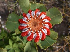 Banksia coccinea | Scarlet Banksia. Hard to resist the tempt… | Flickr