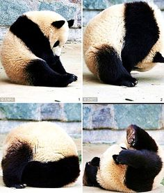 even pandas like somersaults!