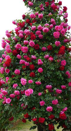 Beautiful Pink Roses Tree in garden. Beautiful Flowers Wallpapers, Beautiful Flowers Garden, Exotic Flowers, Amazing Flowers, Beautiful Roses, Pretty Flowers, Beautiful Gardens, Rose Flower Wallpaper, Climbing Flowers