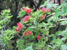 ヤマツツジ. Rhododendron kaempferi. 22 May 2017.