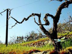 Vines in Cyprus - awakening in Spring