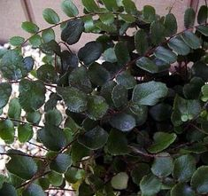"Amazon.com: Hirt's Button Fern - Pellaea rotundifolia - Unusual, Easy to Grow - 4"" Pot: Patio, Lawn & Garden"