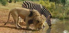 Are my eyes deceiving me or can opposites really attract??? (photo from African Adventure Specialists)