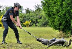 Animal and Wildlife Control Officer Winn Sell holds on for dear life as the alligator performed a co...