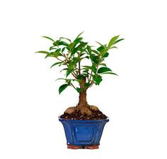 Ginseng Grafted Ficus Bonsai Trees