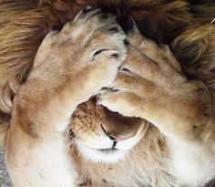 Image via We Heart It #adorable #alone #amazing #animals #cover #cute #lion #love #nature #photograph #power #shy #strong #tiger