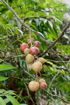 Lepisanthes alata (blume) Leenh is native to Malesia (Indonesia-Kalimantan, Malaysia- Johore, Sabah & Sarawak).The fruit is sweet and edible