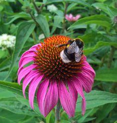 Ein kleiner Gast auf dem Sonnenhut. Hummeln sind so schön flauschig und echt fotogen. Insects, Bees, Plants, Animals, Photos, Bumble Bees, Nice Asses, Animais, Animales