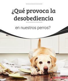 ¿Qué provoca la desobediencia en nuestros perros?  De todos los malos hábitos que puede tener tu canino, la desobediencia es uno de los peores y los más delicados. Te contamos más sobre este tema. #desobediencia #mascota #hábito #adiestramiento