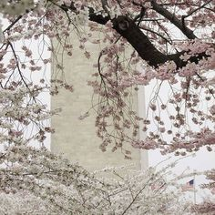【roadtripper876】さんのInstagramをピンしています。 《On the eve of  #Inauguration  a picture I took in #DC  a couple years ago. #CherryBlossoms at the #WashingtonMonument ...》