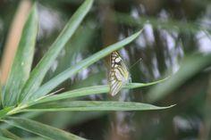 Little butterfly on Sumatra
