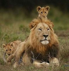 Chilling with Dad Animal KingdomYou can find Wild cats and more on our website.Chilling with Dad Animal Kingdom Big Cats, Cats And Kittens, Cute Cats, Lion Pictures, Animal Pictures, Nature Animals, Animals And Pets, Beautiful Cats, Animals Beautiful