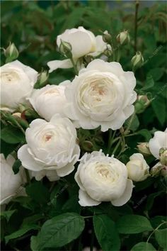 Rose Tree Seeds Climbing Flower Bonsai Plant Seeds Mixed Chinese Rosa Give Lover Plant Diy Home Garden Bloom Over Time 100 Pcs