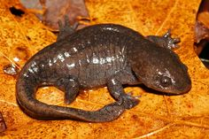 Mole Salamander (Ambystoma talpoideum) - found in much of the eastern and central United States, from Florida to Texas, north to Illinois, east to Kentucky, with isolated populations in Virginia and Indiana. Crocodiles, Reptiles And Amphibians, Nature Animals, Toad, Turtle, Cute Animals, Creatures, Orange Things, Animals