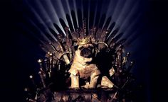 Game of Thrones Pugs of Westeros, King Joffrey - Roxy, Blue and Bono are three cute pugs from California that love being dressed up and photographed by their owners – Phillip & Sue Lauer.