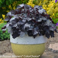 Shop for Dolce Black Pearl Coral Bells online and ship it directly to your door from the nursery. You're sure to find the perfect fit for your space! Plants Addicts is here to help you complete your never ending garden! Australian Garden, Heuchera, Coral Bells Heuchera, Plants, Vertical Herb Garden, Foliage Plants, Container Gardening, Urban Garden, Succulent Garden Diy Indoor