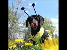 Crusoe the Honey Bee - Dachshund Plays Honey Bee for the Day! - YouTube