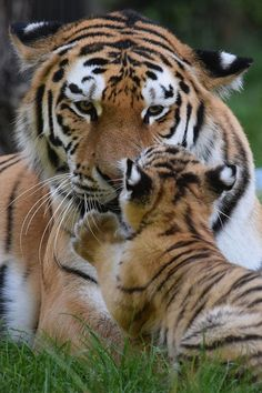 Dasha & her cub @ Zoo Duisburg 31-08-2016 | by Maxime de Boer