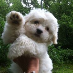 Precious Nonshedding Coton de Tulear. That's what I need, cute puppy that won't get big and won't shed :)