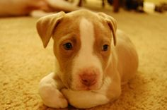Cute Little Red Nose Pitbull