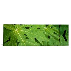 "East Urban Home Panoramic Raindrops on Papaya Tree Leaves, La Digue, Seychelles Photographic Print on Canvas Size: 12"" H x 36"" W x 0.75"" D"