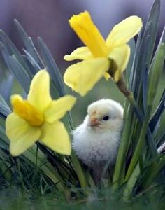 aww baby chick