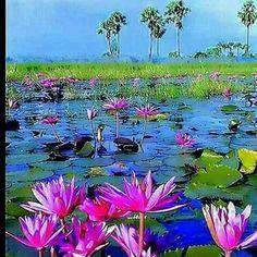 Lotus Painting, Lily Painting, Garden Painting, Garden Art, Water Plants, Water Garden, Exotic Flowers, Beautiful Flowers, Lotus Image