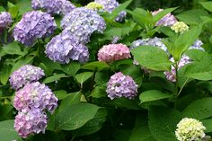 Hydrangea 'Endless Summer'...depending on soil acidity or alkalinity the flowers can range from blue(acidic) to pink(alkaline). Ours are always a mix as seen here. The young blossoms start out a white/green (lower right) before maturing into their final colour.