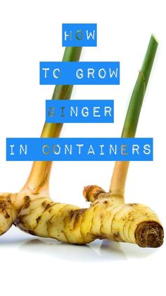 Ginger is an easy spice to grow at home in a container. Follow these gardening tips and tricks. It has many health benefits.