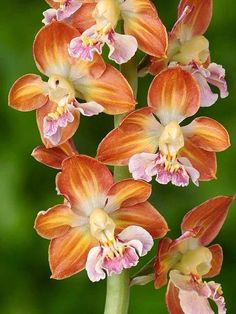 Brown orchids