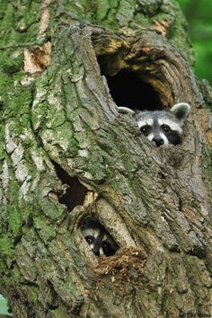 """Two Raccoons: """"Peering Out..."""""""