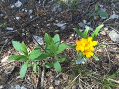 Hoary Puccoon   April 2016
