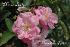 Marie Daly Rose- Polyantha  Soprt of Marie Pavie