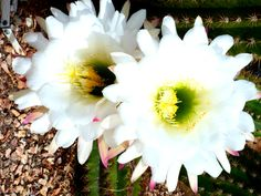 Exotic cactus flowers. Royalty free photos: Royalty Free Photos, Cactus, Exotic, Flowers, Plants, Plant, Royal Icing Flowers, Flower, Florals