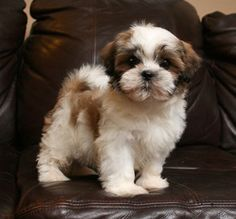 Teddy Bear Maltese Shih Tzu puppies are here... take this adorable little guy home...  www.crpuppylove.com
